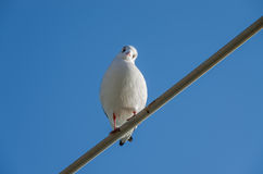 Seagull, Larus ridibundus Royalty Free Stock Photos