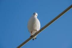 Seagull Larusridibundus Royaltyfria Foton