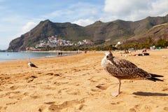 Seagull in Las Teresitas Beach, Tenerife Royalty Free Stock Image