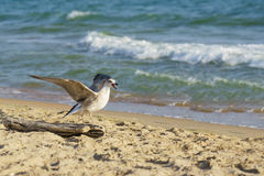 Seagull lat. Larus argentatus on the beach screaming Royalty Free Stock Photography