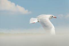 Seagull lata Obrazy Stock
