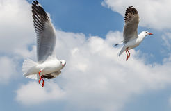 Seagull lata Fotografia Stock