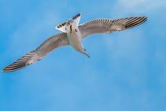 Seagull lata Obraz Royalty Free
