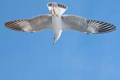 Seagull lata Fotografia Royalty Free