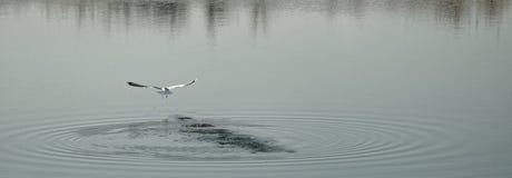 Seagull lata nad jeziorem, Corbeanca, Ilfov okręg administracyjny, Rumunia obrazy royalty free