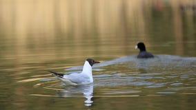 Seagull lata nad jeziorem i podnosi w górę chleba zbiory