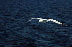 Seagull lata nad morzem Obrazy Royalty Free