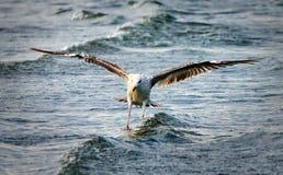 Seagull lata nad morzem, skrzydła rozprzestrzeniający zdjęcie royalty free