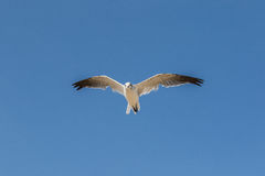 Seagull latający koszt stały przeciw niebieskiemu niebu obraz stock