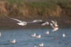 Seagull latanie Obraz Royalty Free