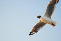 Seagull latanie Obrazy Stock