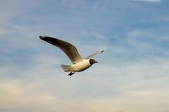 Seagull latanie Zdjęcia Royalty Free