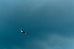 Seagull latanie Obraz Stock