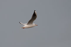 Seagull latanie i szary niebo Obraz Royalty Free