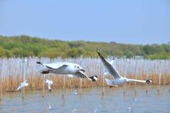 Seagull latanie na niebie Obrazy Stock