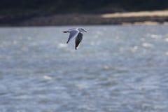 Seagull latanie na niebie numerowy 2a99 - upierścieniony ptak - Zdjęcia Stock