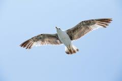 Seagull latanie wśród niebieskiego nieba Fotografia Royalty Free