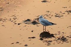 Seagull latanie w niebie z sunsetSeagull stojakiem w morzu Zdjęcie Royalty Free