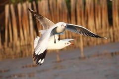Seagull latanie w niebie z szeroko otwarty skrzydłami Obraz Stock