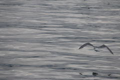 Seagull latanie w obrazek spokojny ołowiany popielaty odbija ocean Zdjęcia Royalty Free