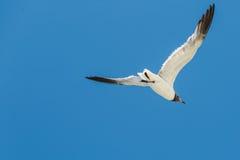 Seagull latanie z otwartymi skrzydłami zamkniętymi Zdjęcia Royalty Free