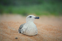 Seagull laying in sand Royalty Free Stock Image