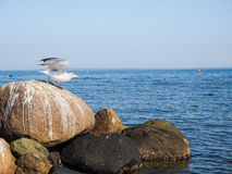 Seagull leaving rocks at sea Royalty Free Stock Images