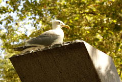 Seagull on a ledge Royalty Free Stock Photography