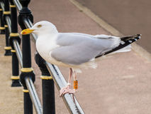 Seagull with leg ring tag. Stock Photo