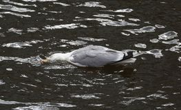 A Seagull lies on the water of the river. Lowered his head into the water stock image