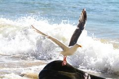Seagull Lifting Off at the Oceanside, Oregon royalty free stock photo