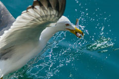 Seagull and little fish Royalty Free Stock Photography