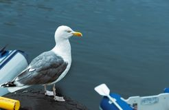 A seagull in the location of Alesund. Norway stock photos