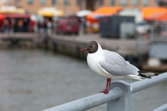 The seagull lodges on a bridge protection Stock Photography