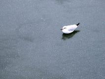 Seagull lodowa zima Obraz Royalty Free
