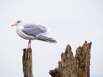 Seagull on a log Royalty Free Stock Image