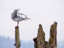 Seagull on a log Stock Images