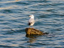 Seagull on the log stock photo