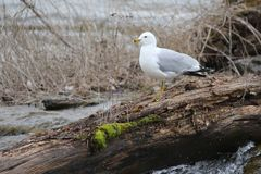 Seagull on a log royalty free stock photography