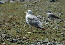Seagull lon the beach Royalty Free Stock Photo
