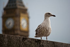 Seagull in London Stock Images