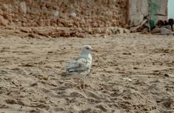 Seagull lonely on the beach royalty free stock photos