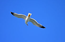 A Seagull Looking Around Royalty Free Stock Photo
