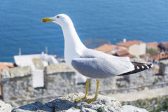 Seagull looking the city of  Venice, Italy Royalty Free Stock Image