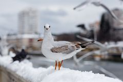 Seagull looking curiosity Stock Image