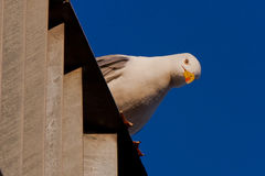 Seagull looking down Stock Image