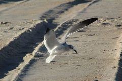 Seagull at the Beach. A seagull looking for food along the beach of Long Beach Island. Scanning the ground for any leftovers from beach goers Royalty Free Stock Image