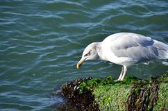 Seagull looking for food in the ocean. Royalty Free Stock Photos