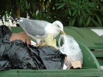 Seagull in the rubbish. Seagull while looking for food in the rubbish Royalty Free Stock Photography
