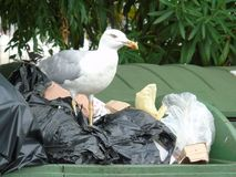 Seagull in the rubbish Royalty Free Stock Image